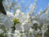 Spring flowering of plum tree — Stock Photo