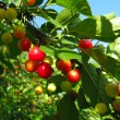 Cherry-tree — Stock Photo