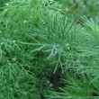 Growing dill — Stock Photo #3831597