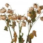 Dead roses — Stock Photo #3161784
