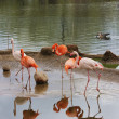 A bird of flamingo is in the Moscow zoo — Stock Photo