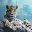 Stok fotoğraf: A jaguar is in the Moscow zoo