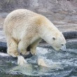 A polar bear is in the Moscow zoo — Foto Stock