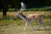 Japanese deer in a park — Stock Photo