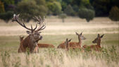 Bevy of royal deer in oestrus time — Stock Photo