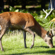 Royal stag grazing in forest - Stockfoto