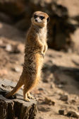 Suricate standing on stub — Stockfoto