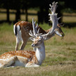 Stock Photo: Couple of dappled deers