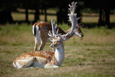 Couple of dappled deers — Stock Photo