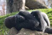 Gorilla maschio sdraiato su una pietra — Foto Stock