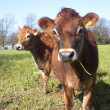 Couple of jersey cows - Stock Photo