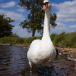 Mute swan in a lake - Stock Photo