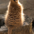 Stock Photo: Suricate sitting on stub