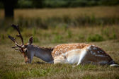Sika deer relaxing on a sun — Stock Photo