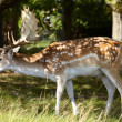 Dappled deer in a forest — Foto Stock