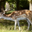Stock Photo: Dappled deer in forest