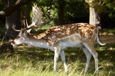 Dappled deer in a forest — Stock Photo