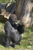 Big gorilla smelling a cucumber — Stock Photo