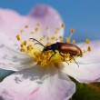 Blossom weevil bug eating petal of pink flower - Stock Photo