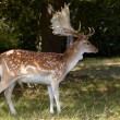 Stock Photo: Dappled deer with great horning