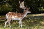 Dappled deer with great horning — Stock Photo
