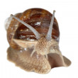 Closeup grapevine snail — 图库照片