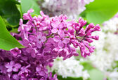 Branch of lilac closeup — Stock Photo