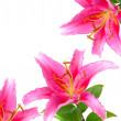 Pink flowers lily isolated on white — Stock Photo