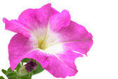 Pink petunia isolated on a white background — Stock Photo