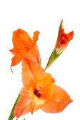 Orange gladiolus isolated on white — Stock Photo