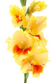 Yellow gladiolus isolated on white — Stok fotoğraf