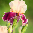 Iris flower — Stock Photo #3468200