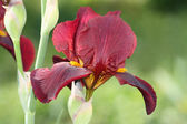 Red iris — Stock Photo