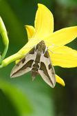 Hawk moth (Deilephila euphorbiae) — Stock Photo