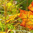 Stock Photo: Autumn orange leaf