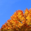 Stock Photo: Orange maple