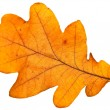 Stock Photo: Oak leaf