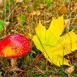 Fly agaric with maple leaf — Stock Photo