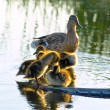 Stock Photo: Duck family