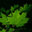 Stock Photo: Maple