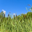 Bulrush row - Stock Photo