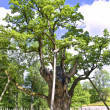Stock Photo: Oldies oak in Europe