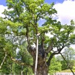 Oldies oak in Europe - Stock Photo