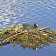 Stock Photo: Coot
