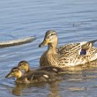 Duck and two ducklings — Stock Photo #2796538