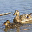 Duck and two ducklings — Stock Photo