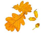 Oak leaves and acorns — Stock Photo