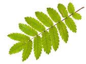 Wild ash leaf — Stock Photo