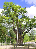 Oldies oak in Europe — Stock Photo