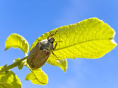 Chafer — Stock Photo